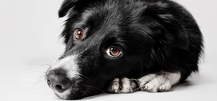Alabama Rot: A rare but deadly disease in dogs