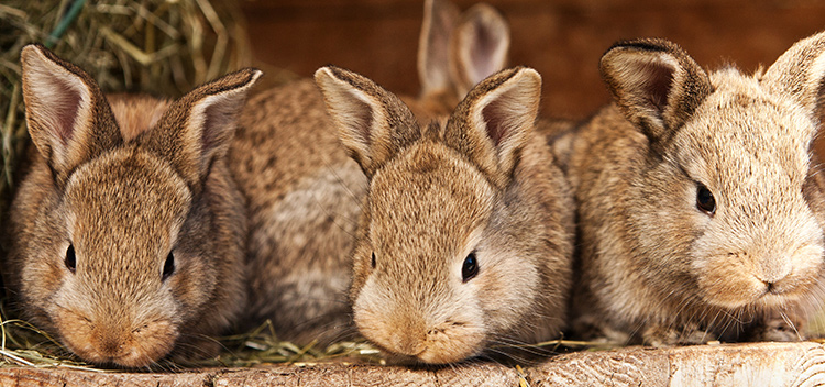 What to expect when your rabbit's expecting