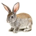 What rabbits are talking about in Christchurch
