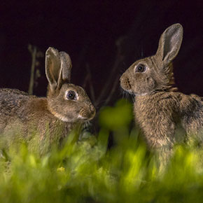 Bonfire night safety for rabbits in Dorset