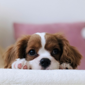 Lucy's Law: And how it protects Puppies & Kittens