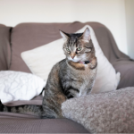 Male & female cats in heat – what you need to know