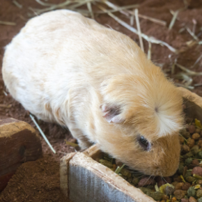 Advice on guinea pig breeding from Best Friends Vets