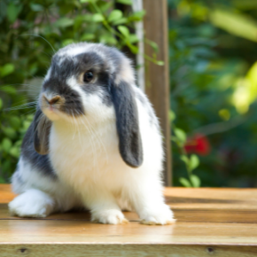 The most important behaviour Christchurch rabbit owners must recognise